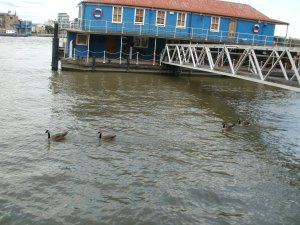 Canada geese inspect house boat potential